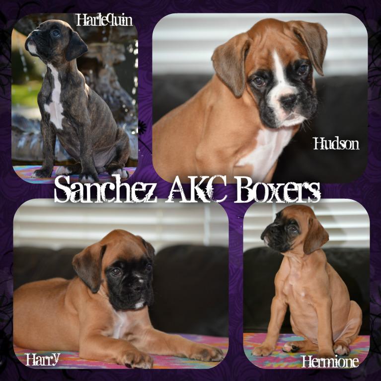 Sanchez Akc Boxers